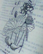 睡莲目莲科莲属植物 荷花